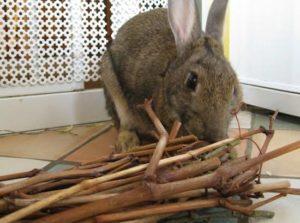 Rabbit behaviour chewing