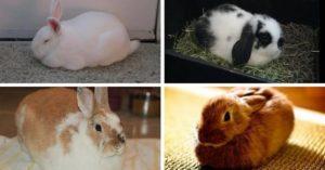 Pet Rabbit behaviour loafing