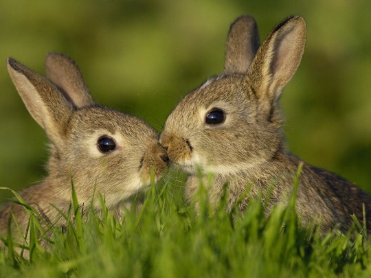 male and female rabbit