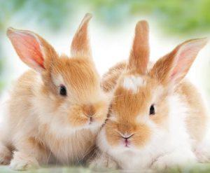 bonded baby rabbit