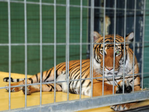 tiger in zoo with coronavirus