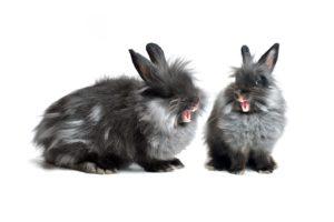 agressive rabbit