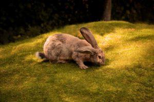 pet rabbit eating grass