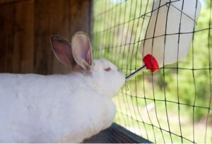 How To Train Rabbits To Drink From A Water Bottle?