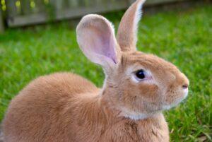 Fawn Flemish Giant Rabbit