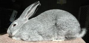 Light grey flemish giant rabbit