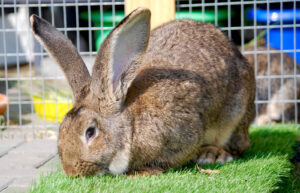 Sandy Flemish Giant Rabbit