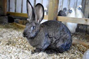 Steel Grey Flemish Giant Rabbit