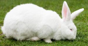 White Flemish Giant Rabbit