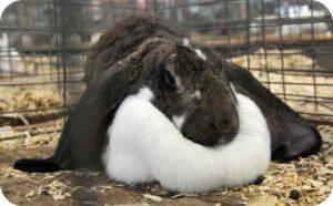 enlarged dewlap in rabbits