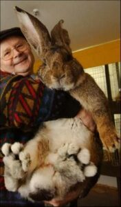 flemish giant with owner