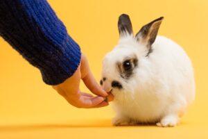 hand feeding rabbit