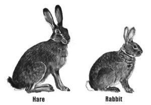 rabbit vs hare