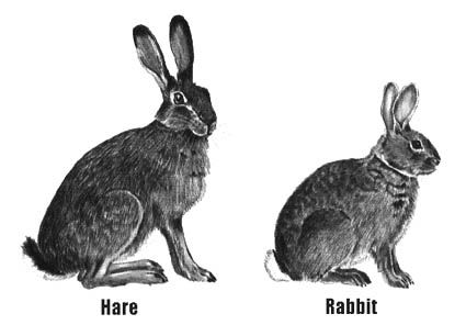 Rabbit vs Bunny vs Hare - What Is The Difference Between Them?