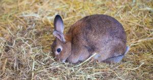 Hay rabbit bedding