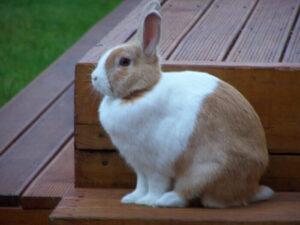 dutch-bunny