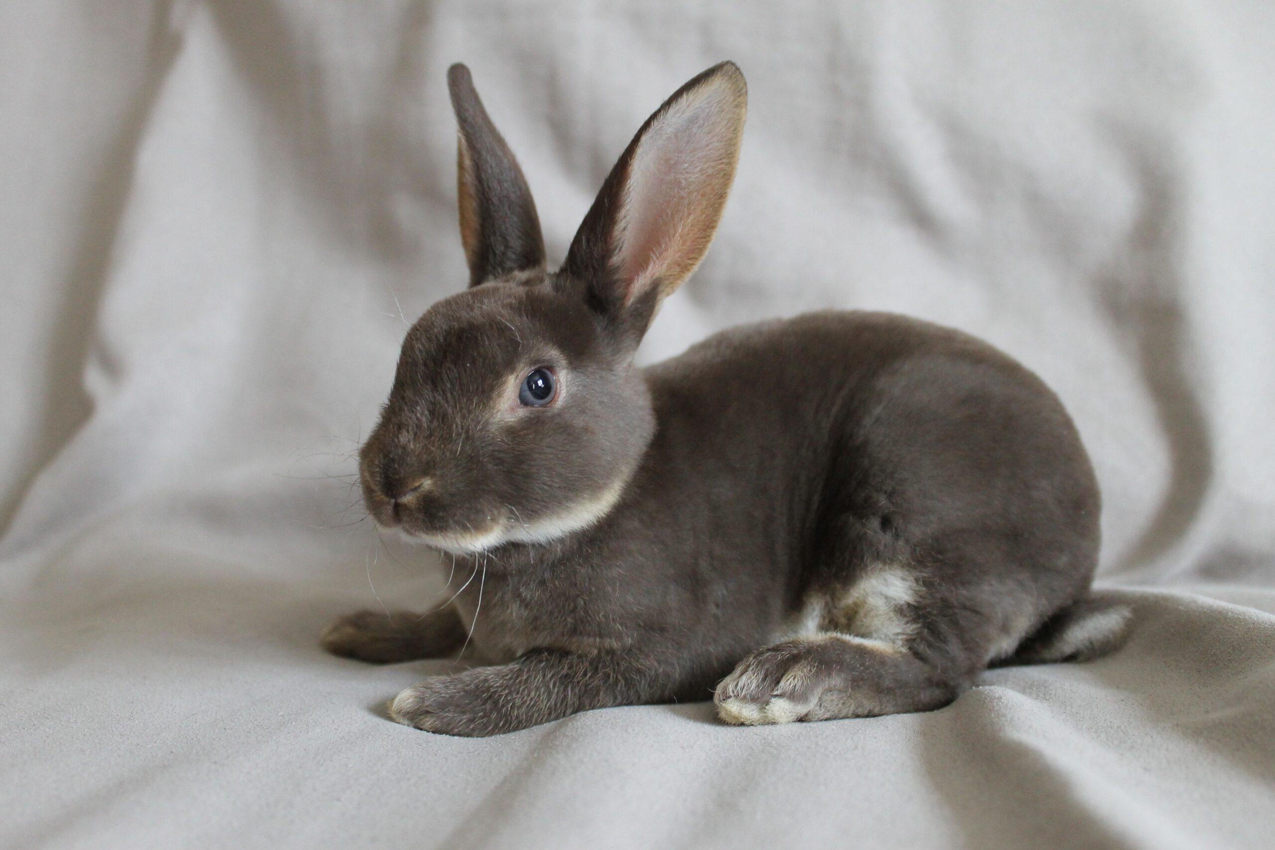 5 Reasons Why Pet Rabbits Have Long Ears?