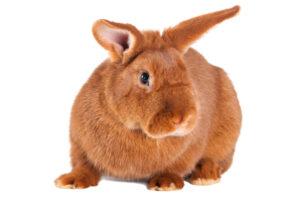 new-zealand-red-rabbit
