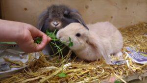 giving treats to rabbits