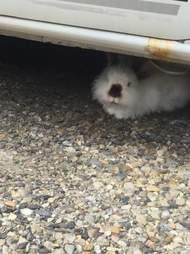 lost rabbit under car
