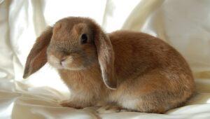 Mini-Lop-rabbit