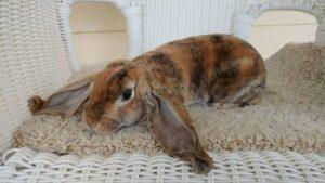 Velveteen-Lop-rabbit
