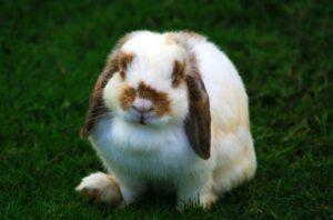 holland-lop-rabbit