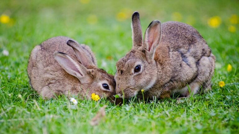 Learn How To Bond Two Rabbits In 5 Easy Steps