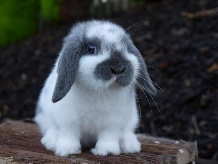 The Definitive Guide On Lop Rabbits (Breeds, Cost & Care)