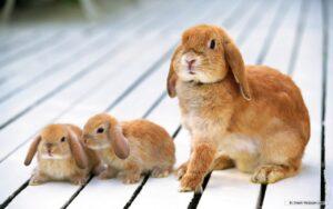 lop rabbit lifespan