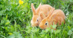 pairing rabbits