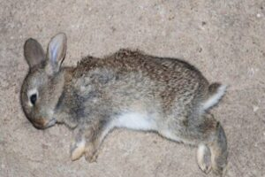 rabbits scream when dying