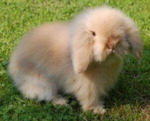 teddywidder lop rabbit
