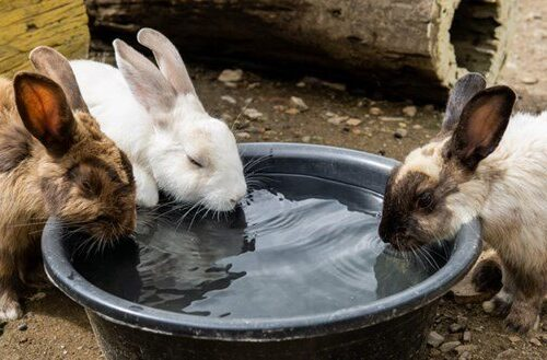 get your rabbit to drink more water