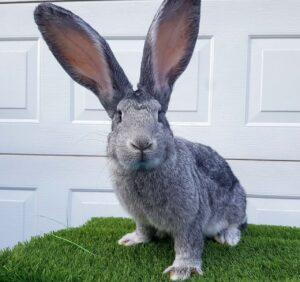 continental giant rabbit