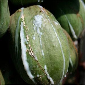 papaya latex